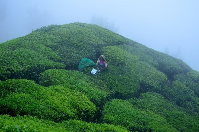 Top Station, Munnar (Tea-leaf cutting)